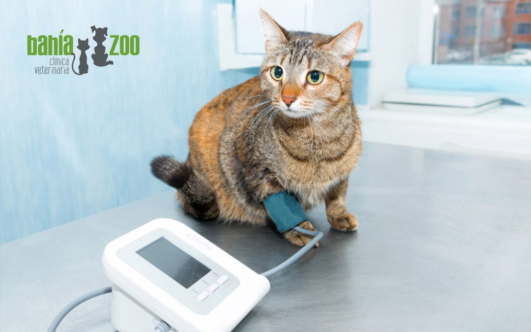 Hipertensión en gatos: síntomas, consecuencias y tratamiento